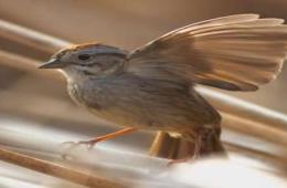 The image shows a male swamp sparrow.