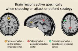 This shows MRI scans showing the areas of the cingulate cortex involved in defense and attack strategy.