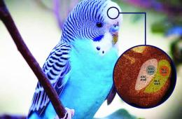 This image shows a parrot and a cut away diagram of the areas of the brain associated with vocal learning.
