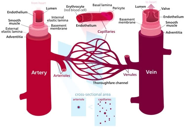 Blood Vessels Age Well Neuroscience News