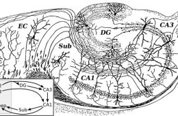This image shows a drawing of the neural circuitry of the rodent hippocampus.