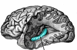 This image shows the location of the hippocampus in the human brain.