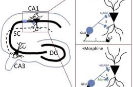 This graph shows a drawing of the hippocampus and diagram showing how morphine affects the circuitry.