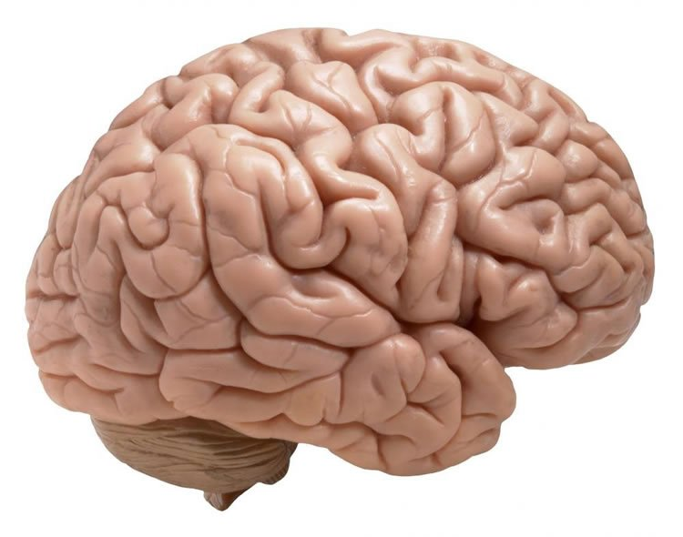 This is a model of the brain.