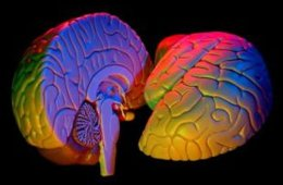 This shows a colorful brain model.