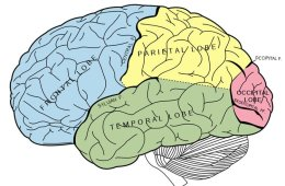 This image shows a brain with the 4 main lobes labelled.