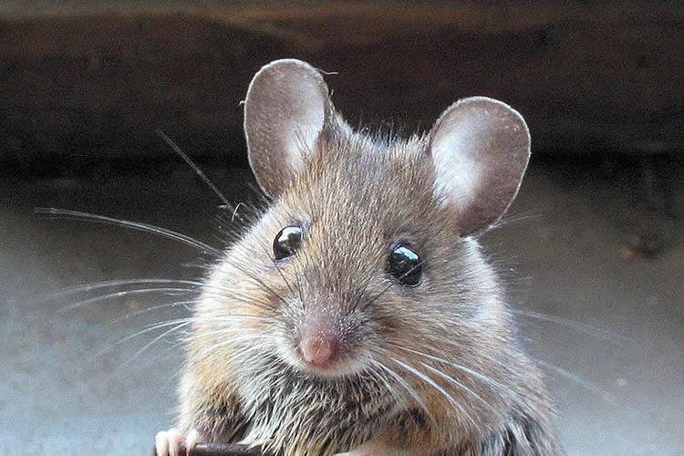 This image shows a wood mouse.
