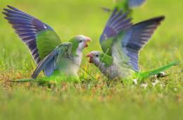 Image shows monk parakeets fighting.