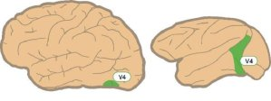 This shows the brain with the V4 area labeled.