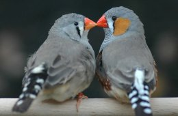 Image shows two zebra finches.