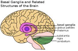 Illustration shows location of the basal ganglia in the brain.
