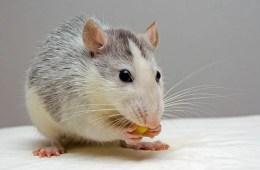 Photo of a rat.