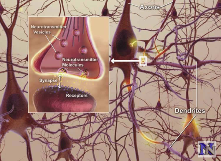 How Synapses are Destroyed in Early Stages of Alzheimer's Disease