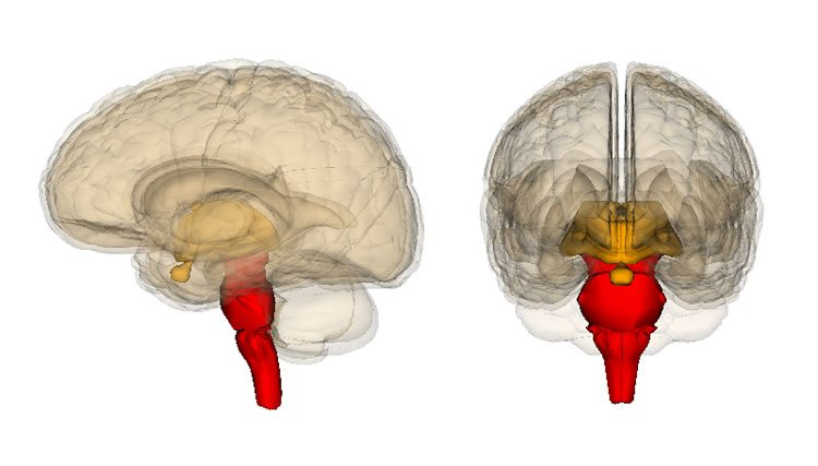 Image shows the brainstem.