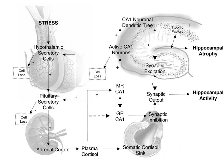 Illustration of the HPA axis.