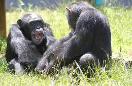 Image shows two chimps.