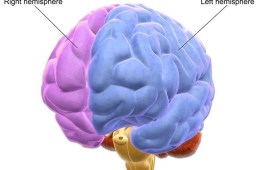 Image shows a brain with the left and right hemispheres labeled.