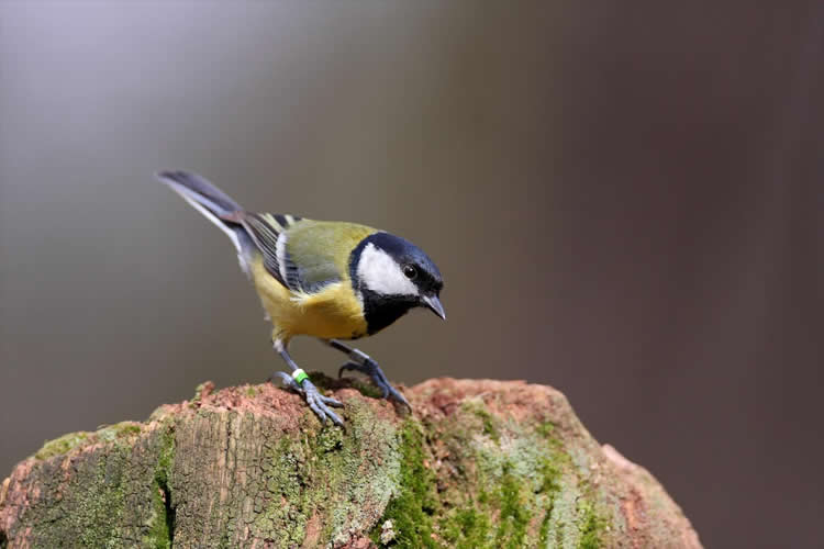 Image shows a blue tit bird.