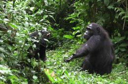 Image shows a mom and baby chimp.