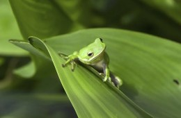 This image shows a green tree frog.