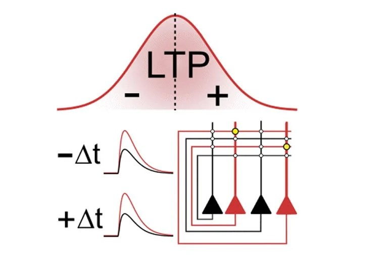 Image shows a graph of LTP.