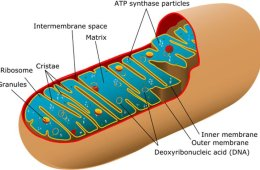 Diagram of mitochondria.