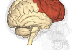 Image shows the location of the frontal lobe in the brain.