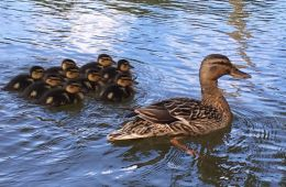 Image shows ducklings.