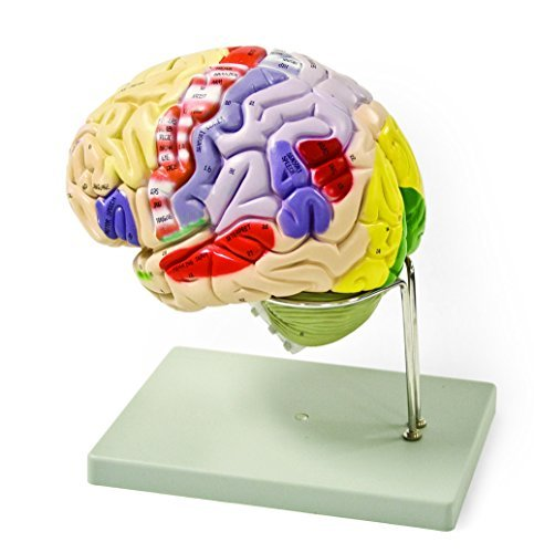 Vision Scientific VAB400 Color-Coded Human Brain – 4 Parts