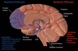 Image shows the dopamine system in the brain.
