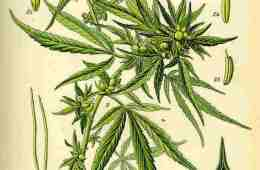 Illustration of a cannabis plant from a horticultural book.