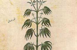 Image shows a marijuana plant.