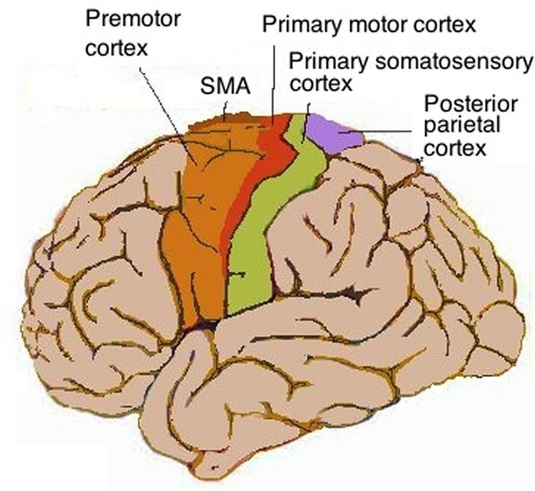 Response to Anxiety Linked to Movement Control Areas in Brain