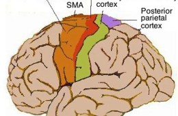 Image shows the motor cortex in the human brain.