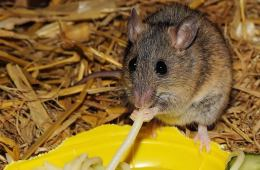 Image shows mouse eating spagetti.