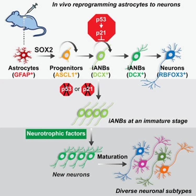 Amplifying Regeneration Of Spinal Nerve Cells Neuroscience News