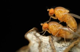 Image shows two flies copulating.