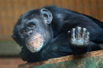 Image shows a chimp.