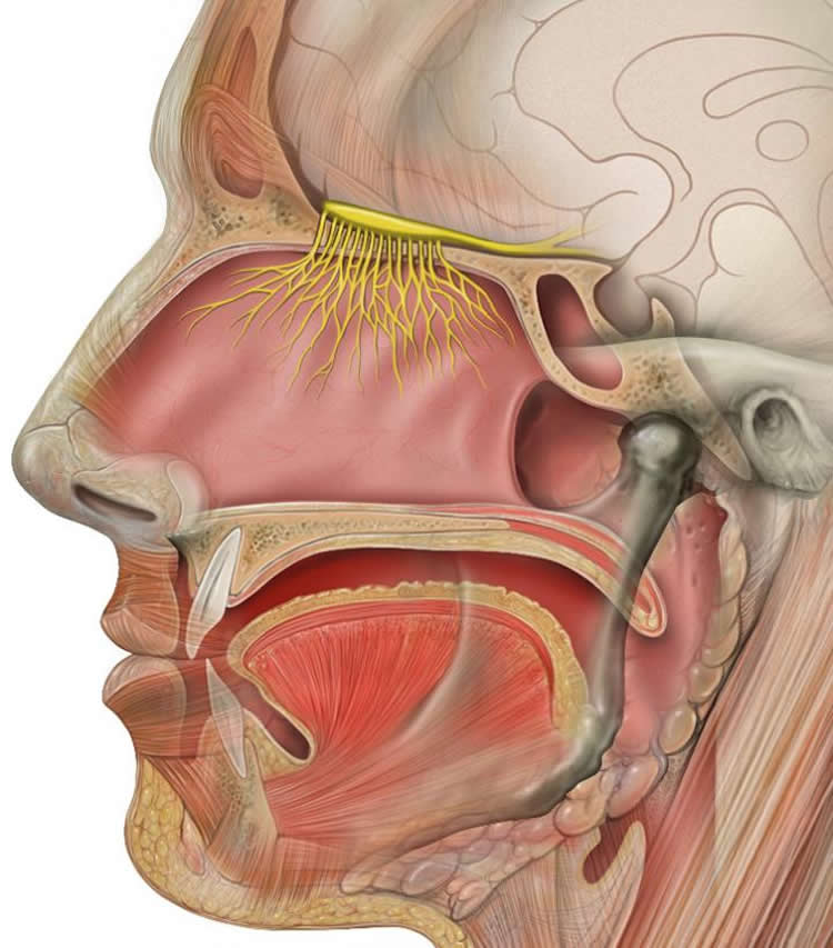 Image shows the olfactory system.