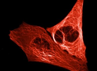 Image shows a cell illuminated by mScarlet.