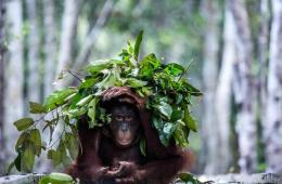 Image shows a monkey with a leaf umbrella.
