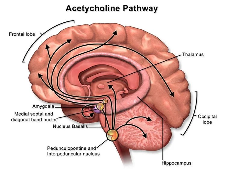 Image shows the acetylcholine pathway in the brain.