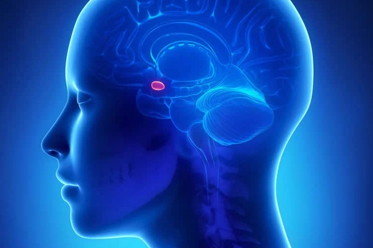 Image shows the location of the amygdala.