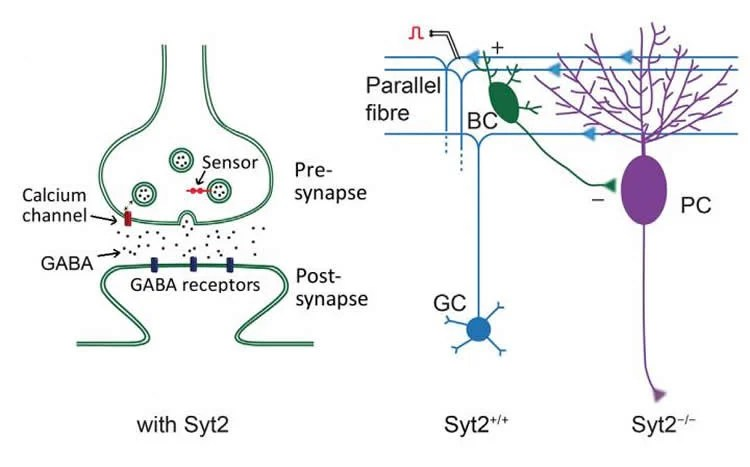 Scientists find sensor that makes synapses fast brain disease in their study they investigate the synapse between basket cells and purkinje cells fandeluxe Choice Image