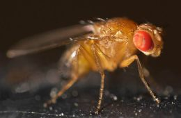 a fruit fly.