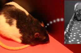 Image shows a rat.