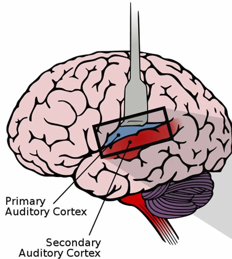 The Way The Brain Processes Speech Could Serve as a Predictor of ...