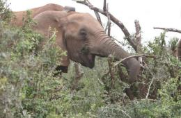 Image shows an elephant wearing a sleep tracker.