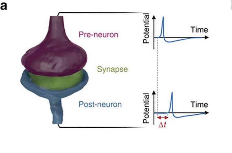 Researchers Build Artificial Synapse Capable of Autonomous Learning