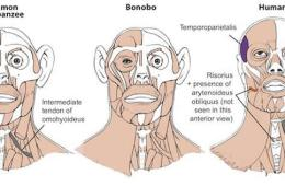 Image shows the similarities between human, bonobo and chimp heads.